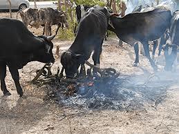 gado-fome
