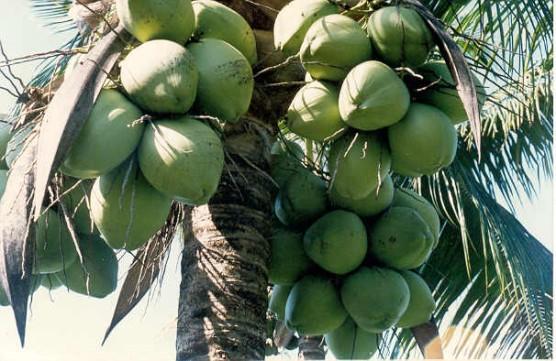 coco-para-adubo-organico