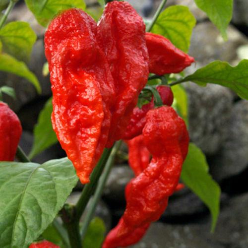 Fazendeiro Local Red Sementes de Bhut Jolokia Pimenta Fantasma 100 1 Milhotilde