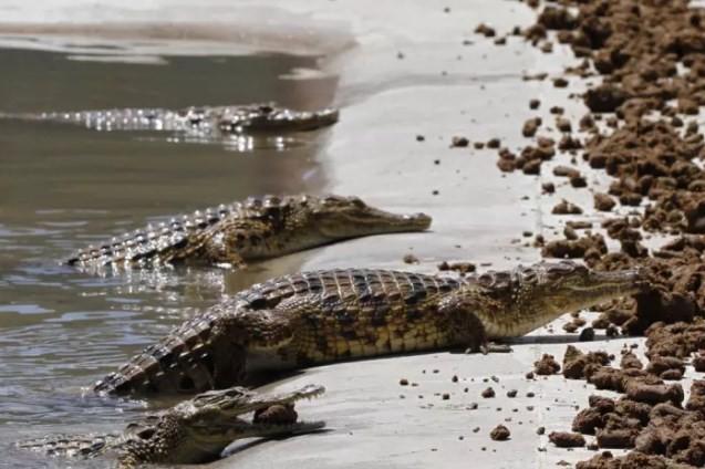 blog crocodiles