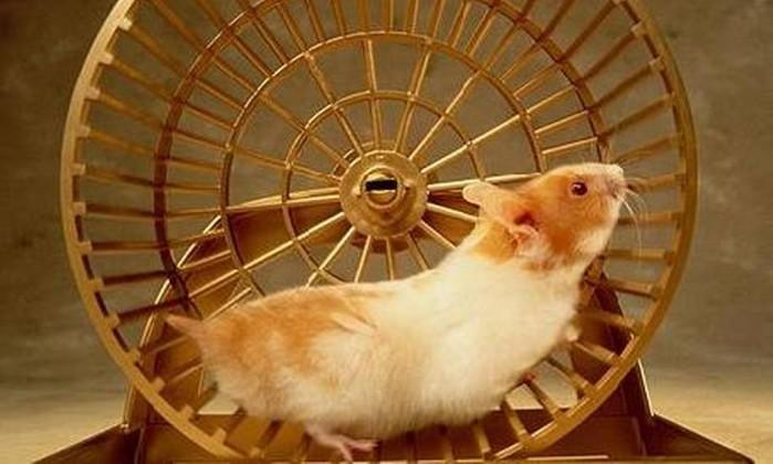 hamster na roda 1550 1 1