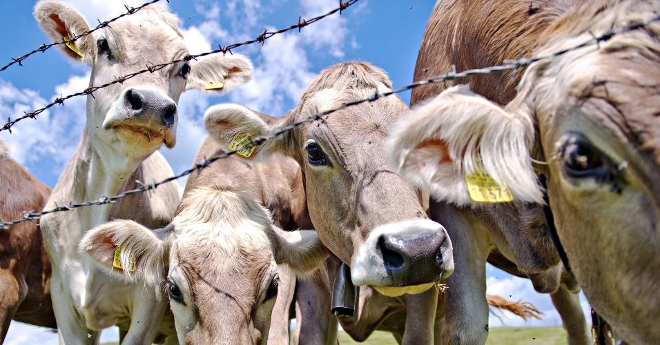 27jun2014 vacas atras de cerca com arame farpado em um prado proximo a staltannen na alemanha