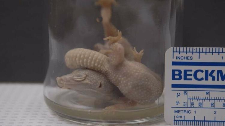 blog geckos