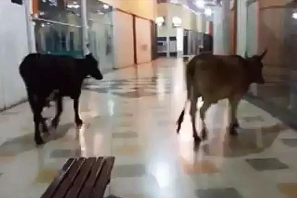 vacas no shopping