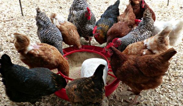 alimentacao galinhas poedeiras ovo caipira