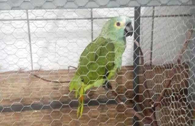 papagaio apreendido