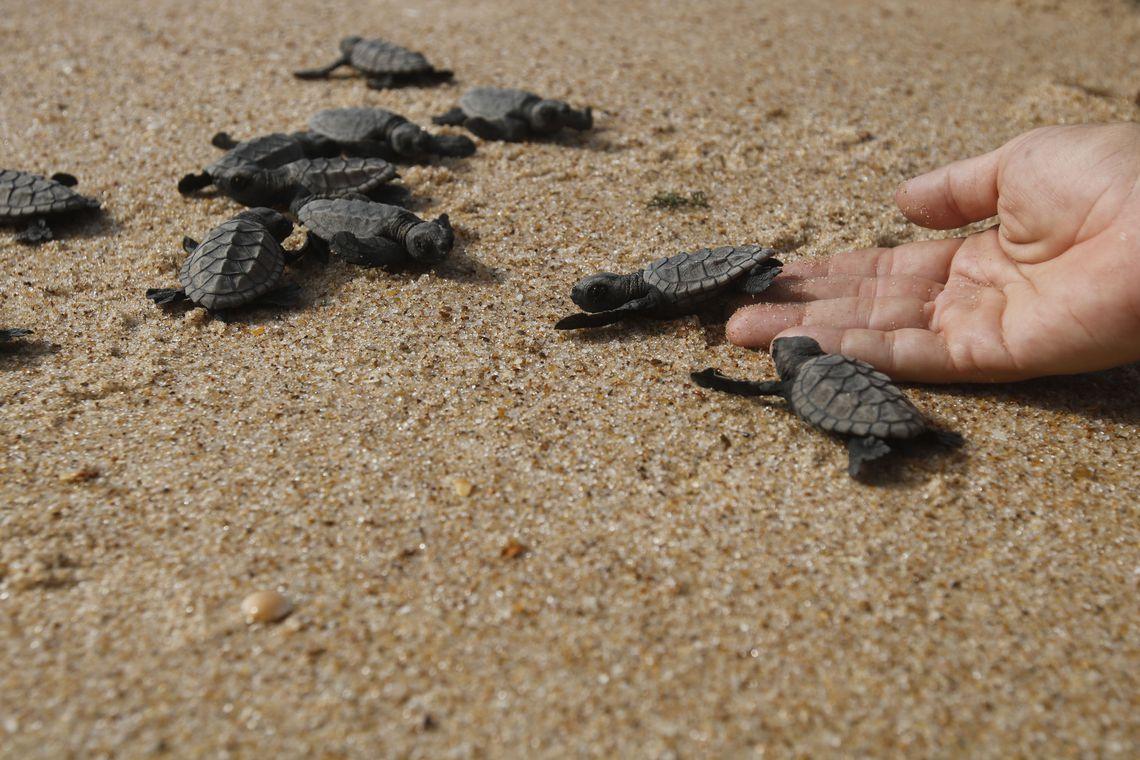 Soltura de filhotes de tartarugas monitorados pelo Projeto Tamar