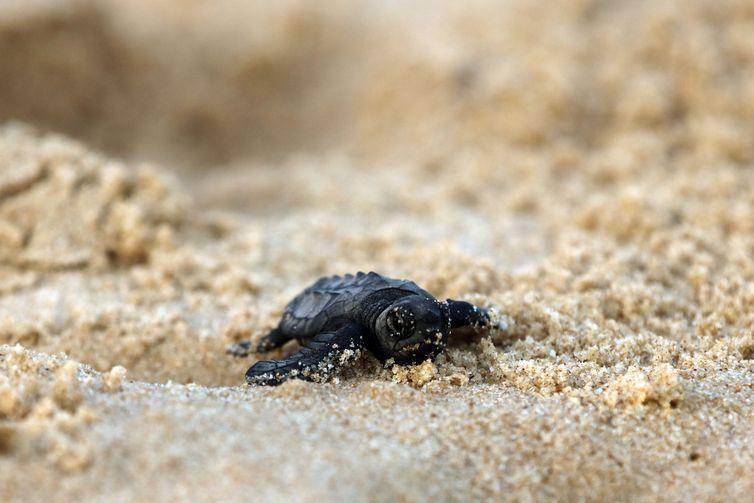 Soltura de filhotes pelo Projeto Tamar comemora marca de 40 milhões de tartarugas marinhas protegidas e devolvidas ao oceano.